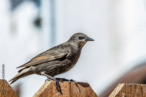 Poster Young Starling