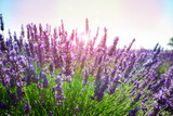 Lavender growing bush with flowers close up with sunshine in summer field, France