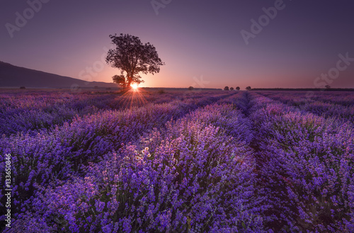 Poster Violet Magnificent lavender field at sunrise with lonely tree. Summer sunrise landscape, contrasting colors.