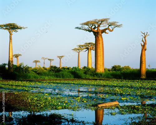 Aluminium Baobab Baobab avenue - Morondava - Madagascar