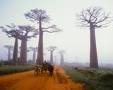 Baobab avenue - Morondava - Madagascar