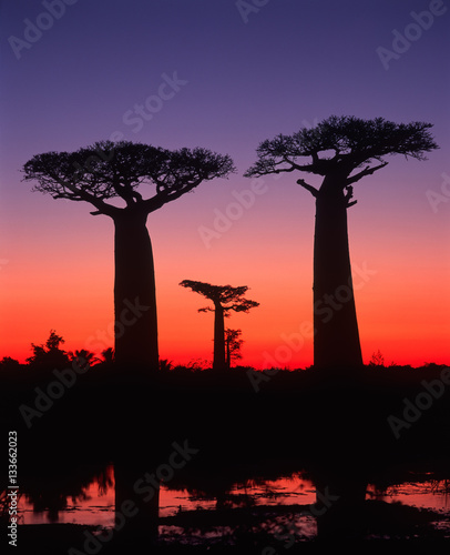 Foto op Aluminium Baobab Baobab avenue - Morondava - Madagascar