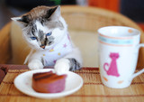 White blue-eyed cat in the clothes eating cake and drinking coffee. He sits at the table and eat breakfast like a man