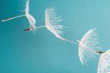 Abflug / Flugschirme der Pustblume beim Start: Wir fliegen davon, um Wünsche zu erfüllen :) - 133672847