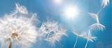 Abflug / Flugschirme der Pustblume beim Start: Wir fliegen davon, um Wünsche zu erfüllen :) - 133673854