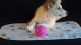 The puppy was lying on a black background next to the ball, distracted and looking around.