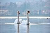 Swans, Iseo Lake, Italy