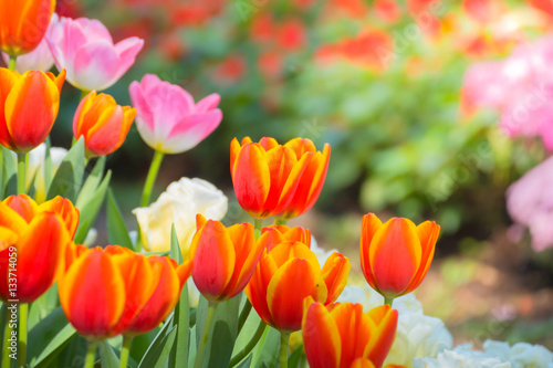 Fotobehang Vlinder Tulip. Beautiful bouquet of tulips. colorful tulips.