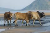 Family of Zebu cattle walking along the beach of Zanzibar. Cow and bull with a calf.