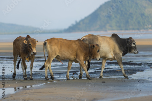 Papiers peints Zanzibar Family of Zebu cattle walking along the beach of Zanzibar. Cow and bull with a calf.