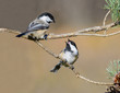 Two Black-Capped Chickadees Arguing
