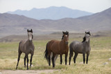 Wild Mustangs in the Great Basin Desert of Utah