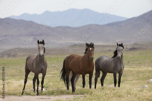 Poster Wild Mustangs in the Great Basin Desert of Utah