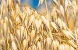 golden ear of oats against the blue sky - 133785028