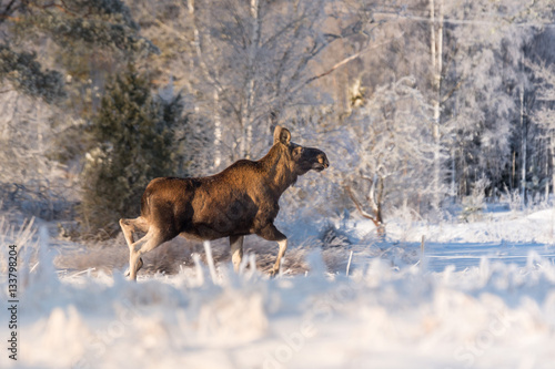 Poster Mother Moose in winter land,