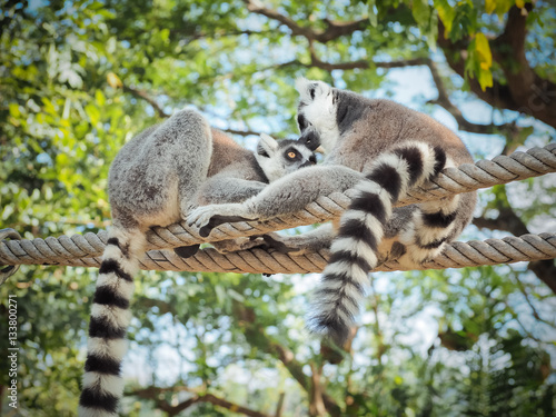 Two Ring-Tailed Lemur (Lemur catta) Outdoor Shot in the zoo Poster