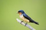 Barn Swallow Portrait on Green - 133816486