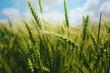 Green wheat ears in field