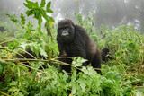 Female mountain gorilla observing tourists in the forest - 133830449