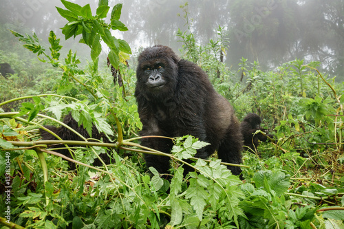 Female mountain gorilla observing tourists in the forest Poster
