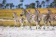 Zebras migration in Makgadikgadi Pans National Park - Botswana