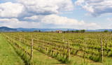 vineyard in spring, tuscany, italy