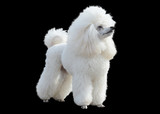 White poodle stand isolated on black background