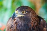 Portrait of Golden Eagle