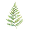 Watercolor fern leaf. Hand painted greenery branch isolated on white background. Plant silhouette