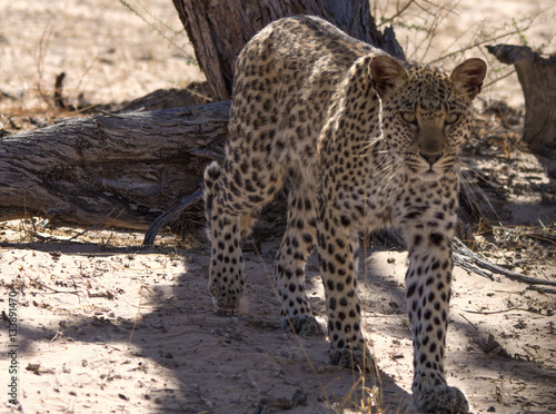 Poster Stunning Young Leopard