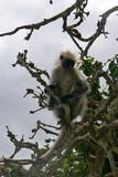 Colobus Affen auf Sansibar