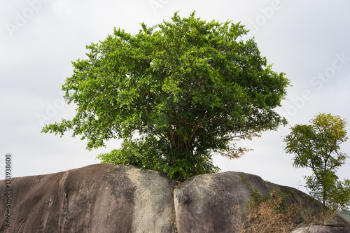 Poster Tree growing from rock