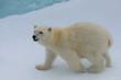 Polar bear (Ursus maritimus) cub on the pack ice, north of Svalb
