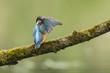 Kingfisher (atthis alcedo)closeup