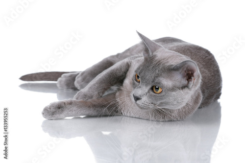 Poster Burmese cat portrait on a white background
