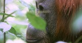 Close up face view of adult orangutan monkey in wild protected forest in Sumatra - 133955452
