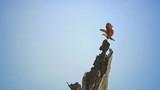 Slow motion video of wild flying Hawk eagle landing on tree top in Yala national park Sri Lanka - 133966462