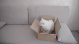 White Cat Sitting in Box and Looking to Left and Sniffing Box. Cat is Very Like to Sit in Box on Sofa Inside.
