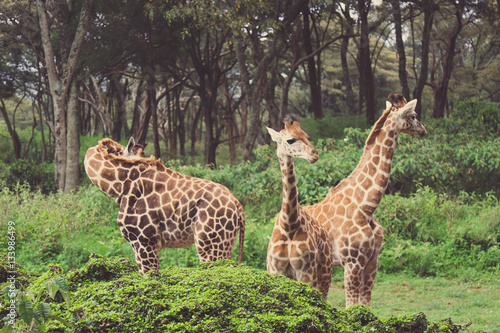 Poster Giraffes