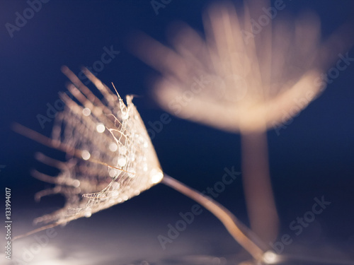 Dandelion seed with waterdrops on dark background - 133994017