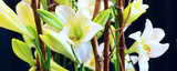 holiday or birthday banner panoramic background with white lily flower blossom decoration on black closeup