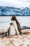 Adult Gentoo and chicks Antarctica