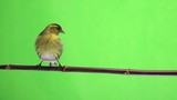 male  siskin isolated on a green background, studio