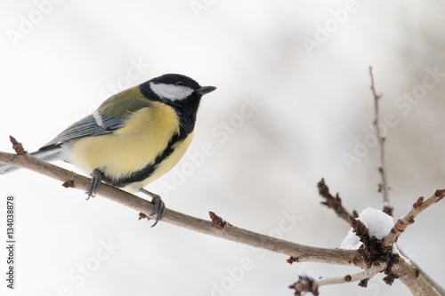 Poster great tit