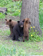 Baby Black bear cubs in Orr Minnesota