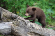 Baby Black bear cubs in Orr Minnesota