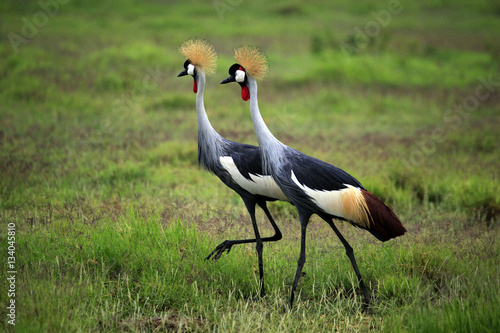 Poster Two Grey Crowned Crane in Amboseli national park