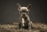 Blue French Puppy