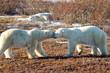 Nice touch by friendly polar bear