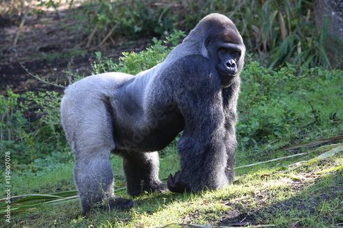 Poster Lowland Gorilla silver back male